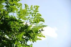 Eetbare moringa bladeren Stock Afbeelding