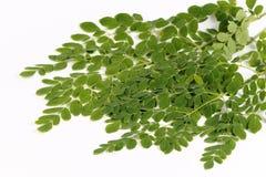 Eetbare moringa bladeren of trommelstokbladeren Stock Afbeeldingen