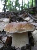 Eetbare paddestoel in de bladeren in het bos stock foto