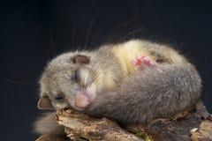Eetbare slaapmuis/glis Glis Stock Foto