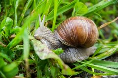 Eetbare slak, Roman slak, de slak van Bourgondi?, escargot in groen gras de tuin stock foto's