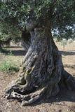 Eeuw-oude olijfboom Royalty-vrije Stock Fotografie