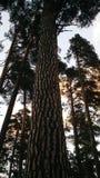 Eeuw-oude pijnbomen tegen de hemel stock foto