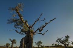 Eeuwen oude olijfboom Stock Afbeelding