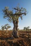 Eeuwen oude olijfboom Stock Afbeeldingen