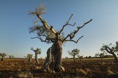 Eeuwen oude olijfboom Royalty-vrije Stock Fotografie