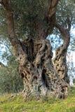 Eeuwen oude olijven Royalty-vrije Stock Afbeelding