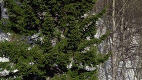 Eeuwenoude sparren in de bergen stock videobeelden