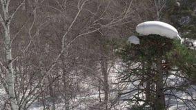 Eeuwenoude sparren in de bergen stock video