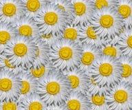 Eeuwig Xerochrysum-Patroon stock illustratie