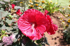 Eeuwigdurend Brandy Punch Hibiscus Rose Mallow Stock Afbeeldingen