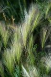 Eeuwigdurend gras royalty-vrije stock afbeeldingen