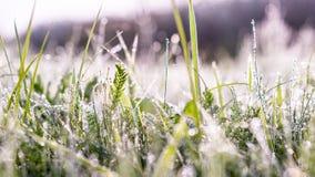 Eeuwigdurend gras in geel ochtendlicht Royalty-vrije Stock Foto