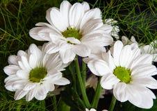 Eeuwigdurende Daisy royalty-vrije stock foto