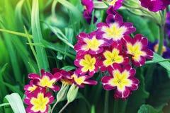 Eeuwigdurende sleutelbloem of primula in de de lentetuin De bloemen van de lentesleutelbloemen, primulaprimula Het mooie roze royalty-vrije stock foto's