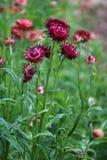 Eeuwige bloemen Royalty-vrije Stock Foto