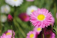 Eeuwige Wildflowers - Royalty-vrije Stock Afbeeldingen