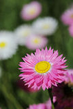Eeuwige Wildflowers - Royalty-vrije Stock Afbeelding