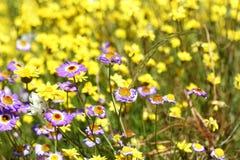 Eeuwige Wildflowers - Stock Afbeeldingen
