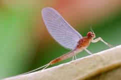 Efímera o Ephemeroptera imagen de archivo libre de regalías