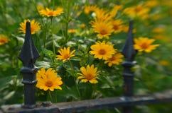 Efecto de foco suave alrededor de margaritas amarillas y de la cerca del hierro labrado del vintage Fotografía de archivo libre de regalías