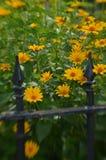 Efecto de foco suave alrededor de margaritas amarillas y de la cerca del hierro labrado del vintage Fotografía de archivo