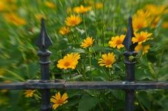 Efecto de foco suave alrededor de margaritas amarillas y de la cerca del hierro labrado del vintage Imágenes de archivo libres de regalías