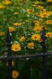 Efecto de foco suave alrededor de margaritas amarillas y de la cerca del hierro labrado del vintage Imagenes de archivo