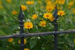 Efecto de foco suave alrededor de margaritas amarillas y de la cerca del hierro labrado del vintage Foto de archivo libre de regalías