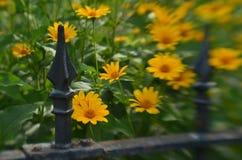 Efecto de foco suave alrededor de margaritas amarillas y de la cerca del hierro labrado del vintage Foto de archivo