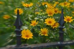 Efecto de foco suave alrededor de margaritas amarillas y de la cerca del hierro labrado del vintage Fotos de archivo