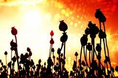 Efecto de la película Tallo doblado de la semilla de amapola Campo de la tarde de las cabezas de la amapola Imagen de archivo