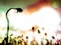 Efecto de la película Tallo doblado de la semilla de amapola Campo de la tarde de las cabezas de la amapola Fotos de archivo libres de regalías