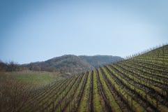 Efecto del cambio de la inclinación de las filas del viñedo del prosecco de la primavera Fotografía de archivo libre de regalías