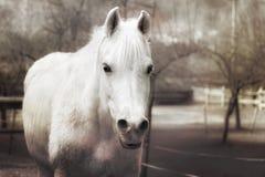Efecto del vintage del caballo blanco Imagen de archivo