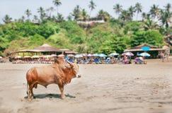 Efecto inclinable del cambio sobre el toro indio que coloca el último pueblo de la palma en Goa Imágenes de archivo libres de regalías