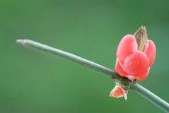 Efedra antigua de la planta medicinal Foto de archivo