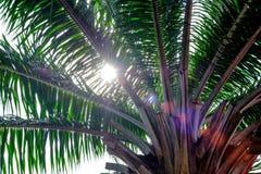Efeito da luz solar no ramo das palmeiras Fotos de Stock Royalty Free