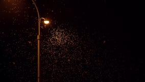 Efemerydy hainanensis - mayfly lub także zna, aloza lata lub uskrzydlać komarnicy gdy ryba lata Mayflies mrowi się wokoło latarni zbiory wideo