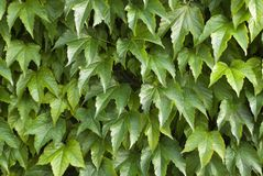 Efeu. A detail of an ivy wall Royalty Free Stock Images