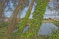 Efeu auf Bäumen entlang Wasserkanal Lizenzfreies Stockfoto