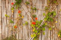 Efeu auf Bambus Lizenzfreies Stockbild