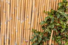Efeu auf Bambus Stockfoto