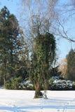 Efeu auf dem Baum im Winter Stockfotografie