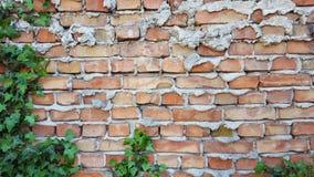 Efeu auf der Backsteinmauer Stockfotos