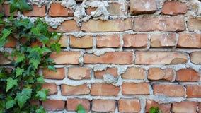 Efeu auf der Backsteinmauer Stockfotografie