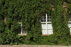 Efeu auf der Fassade des Hauses Lizenzfreie Stockbilder