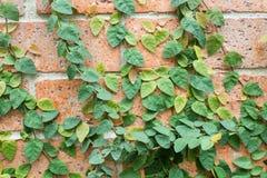 Efeu auf der Wand Lizenzfreie Stockbilder