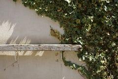 Efeu auf der Wand Stockfotografie