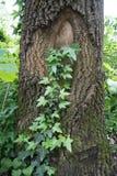 Efeu auf einem Baum Lizenzfreies Stockfoto
